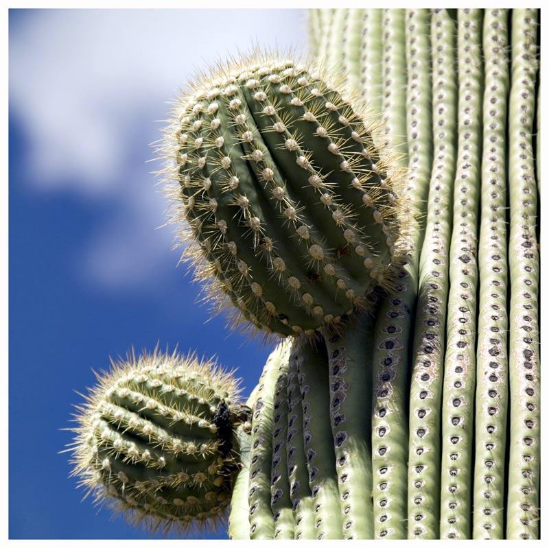 Saguaro Kaktus, oder ...