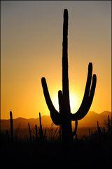 [ Saguaro Sunset ]