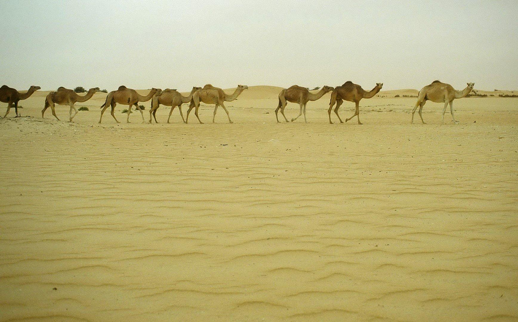 Sahara - Dromedare