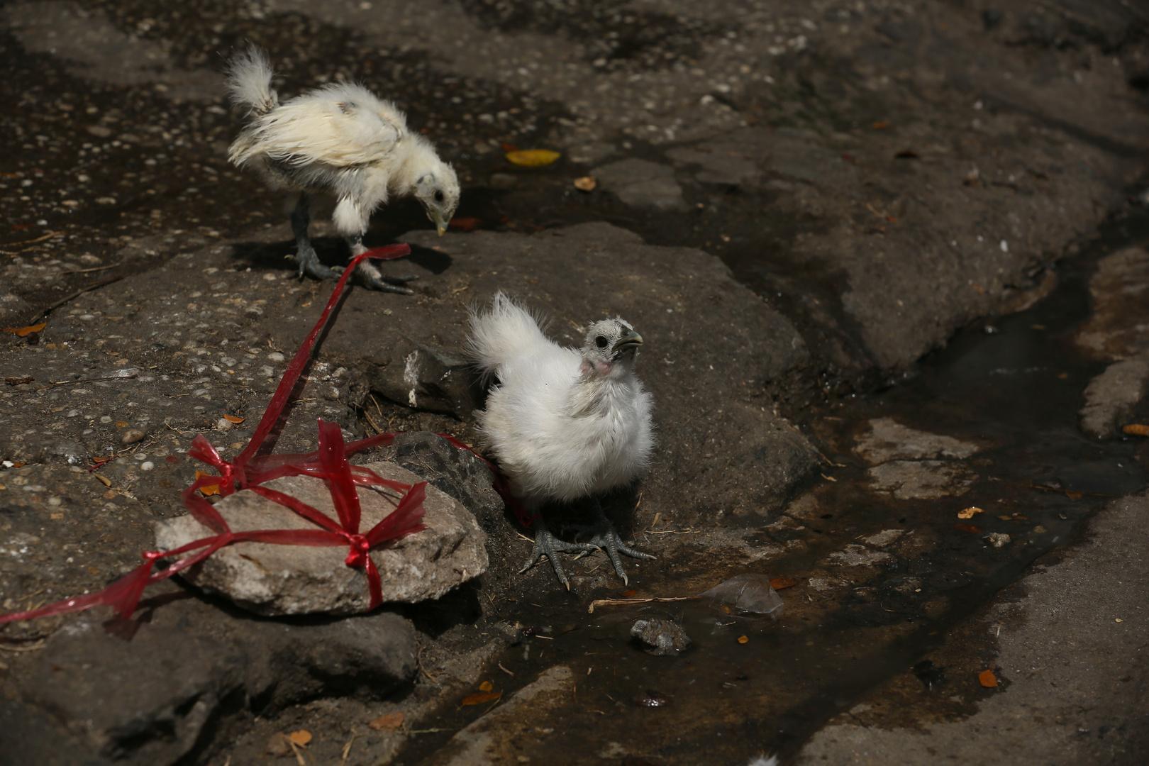 Saigon, Kampfhühner in spe