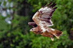 _Sake-Falke im Flug