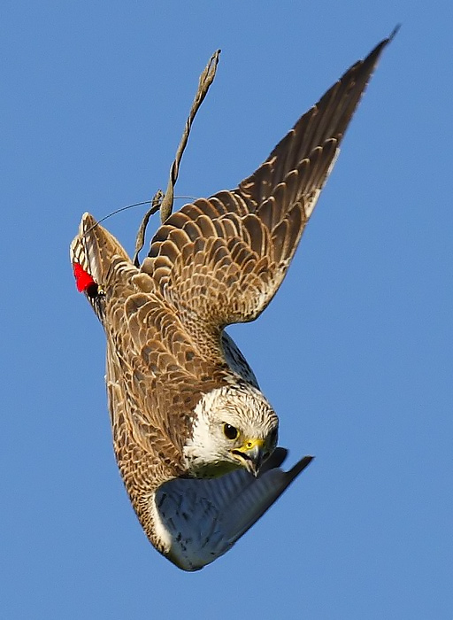 Saker Falcon when training