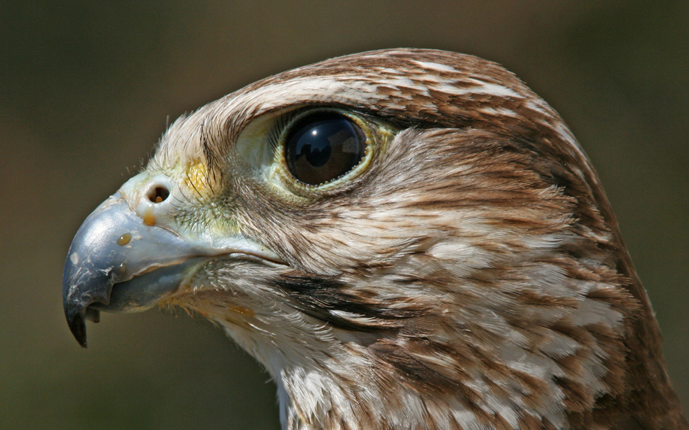 Saker-Falke