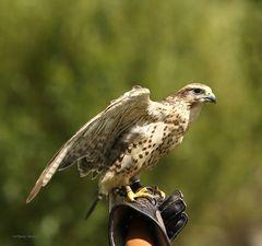 Sakerfalke bei der Flugschau im Wild,-und Freizeitpark Allensbach
