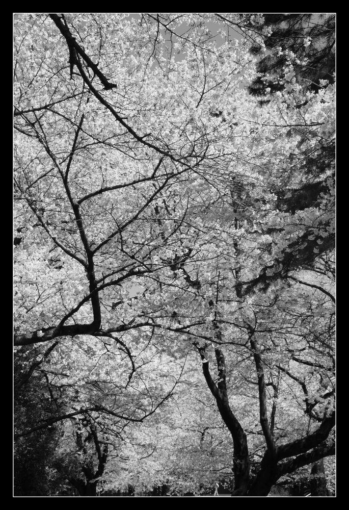 Sakura-11