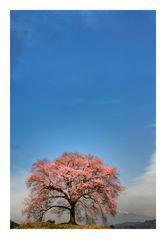 Sakura [in Yamanashi pref.]