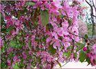 Sakura made in Poland