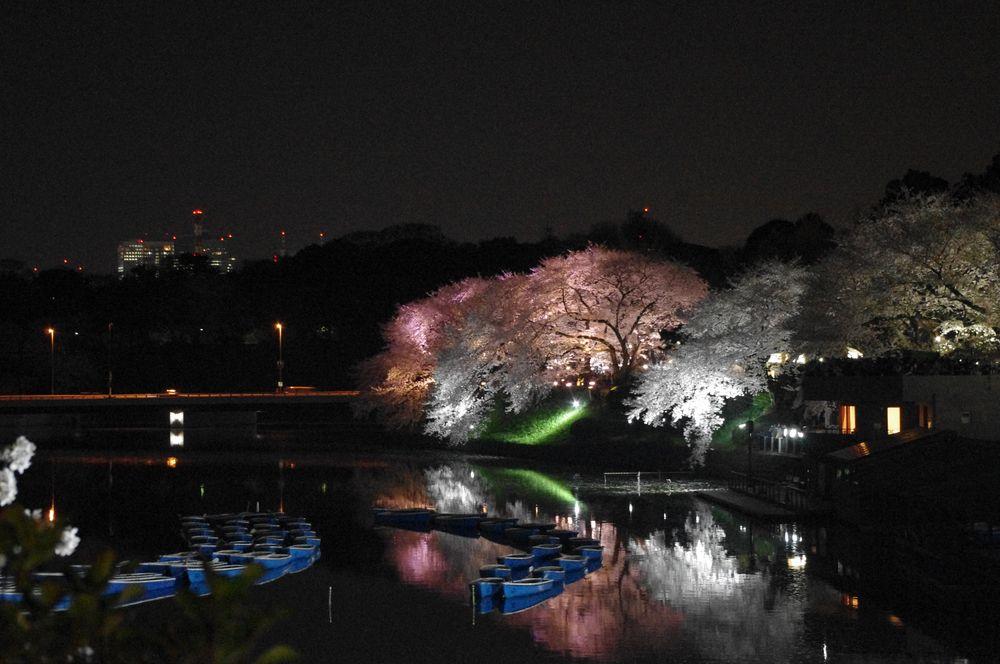 Sakura Night von A.M. St