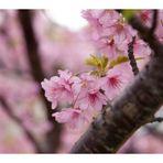 Sakura Sakura-2
