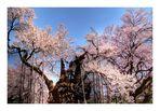 Sakura Sakura -2