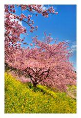 Sakura Sakura-5