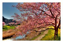 Sakura Sakura-6