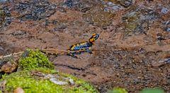Salamander beim Laichen