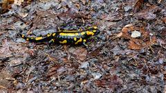 Salamander Dame