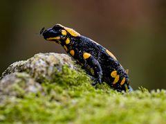 Salamander mit Fliege