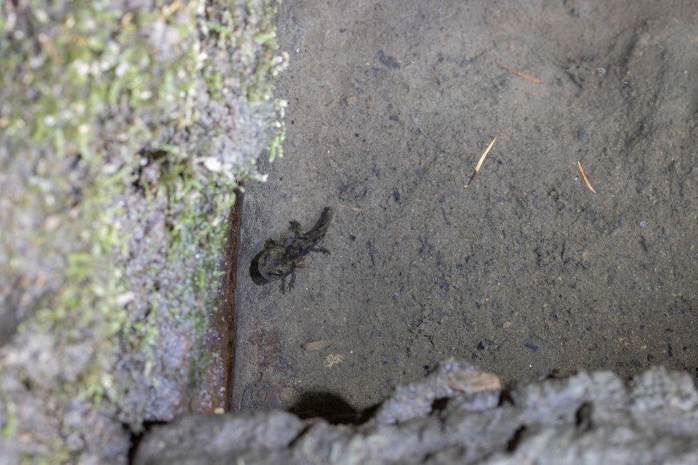 Salamanderlarve...