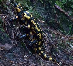 Salamanderspiele