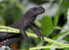 Salamandre de montagne... - Alpensalamander (Salamandra atra)