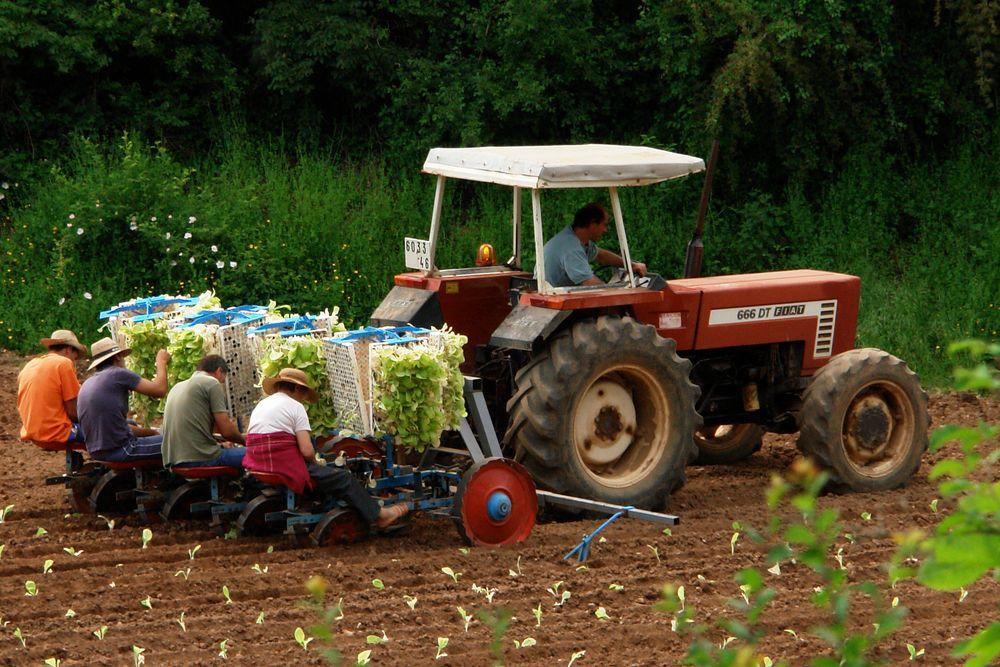 Salatpflanzer in West-Frankreich