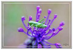 Saltamontes inmaduro verde en flor morada