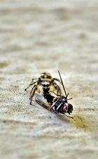 (Salticus scenicus) Zebra-spring-spinne beim Mal