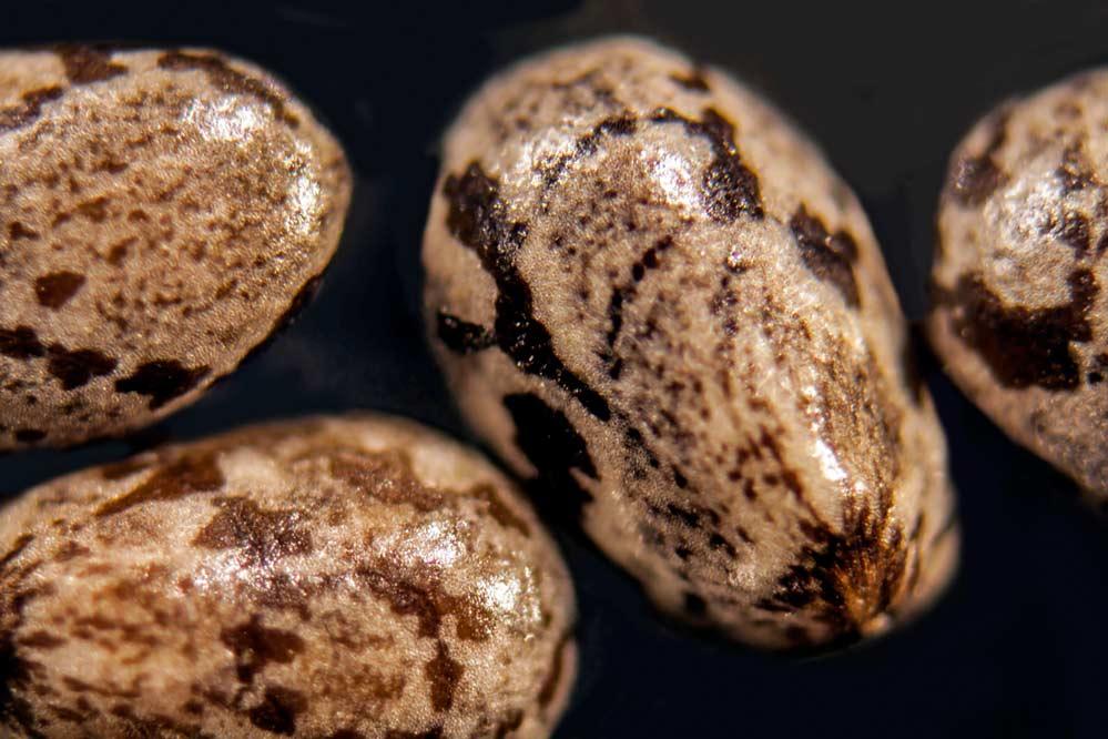 Salvia hispanica - 2 mm -
