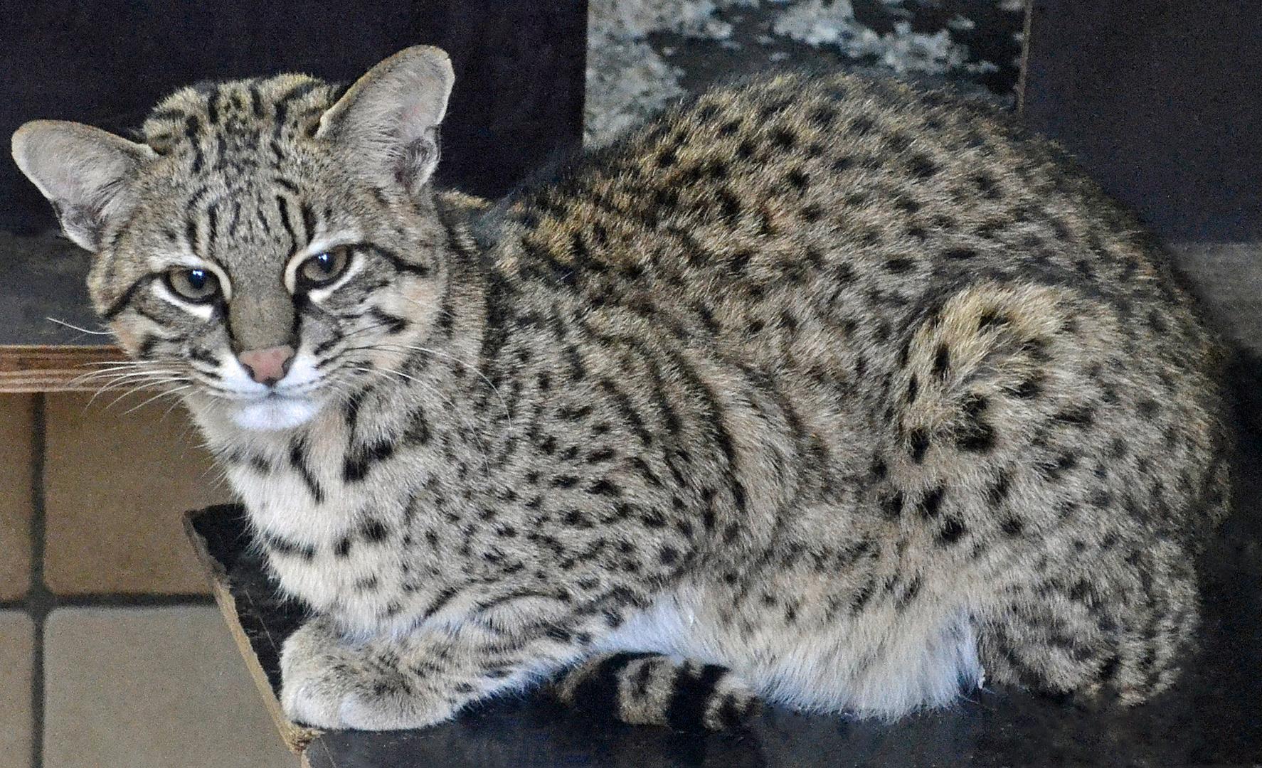 salzkatze im opelzoo kronberg foto & bild | tiere, zoo, wildpark