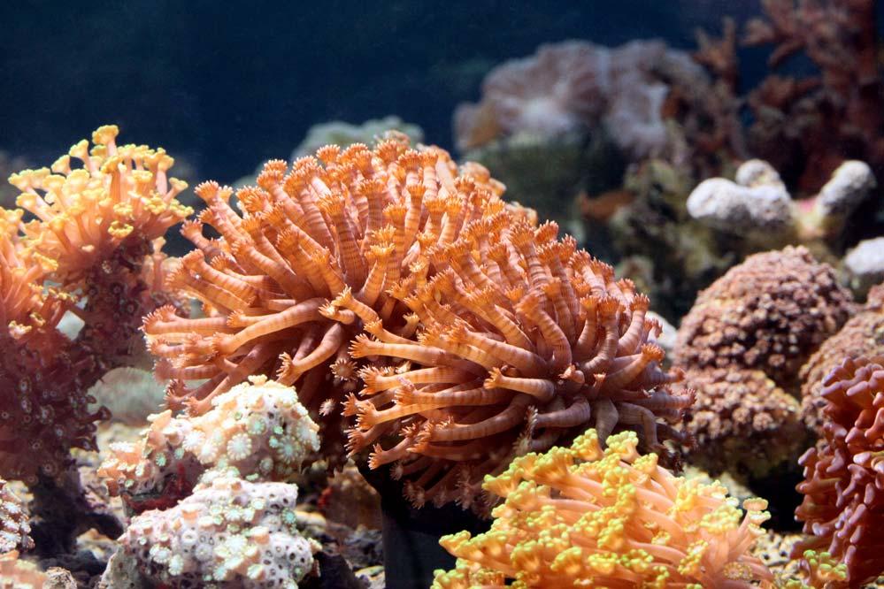 Salzwasserkoralle