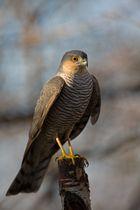 same sparrow hawk