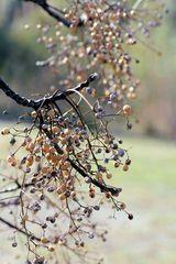 Samen des Paternosterbaumes