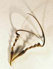 Samen des Reiherschnabels