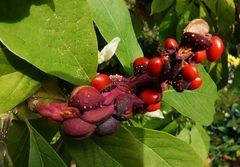 Samen oder Frucht ?