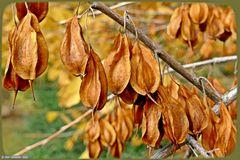 Samenstände des Schneegöckchen-Baum