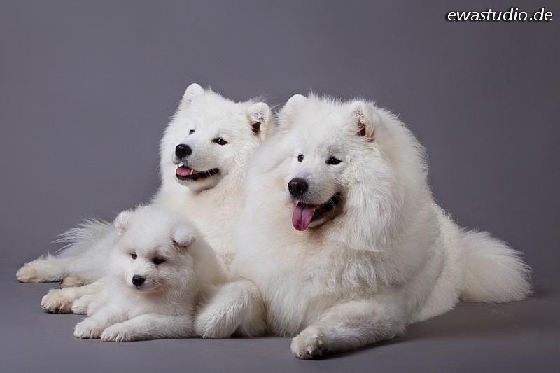 Samoed family