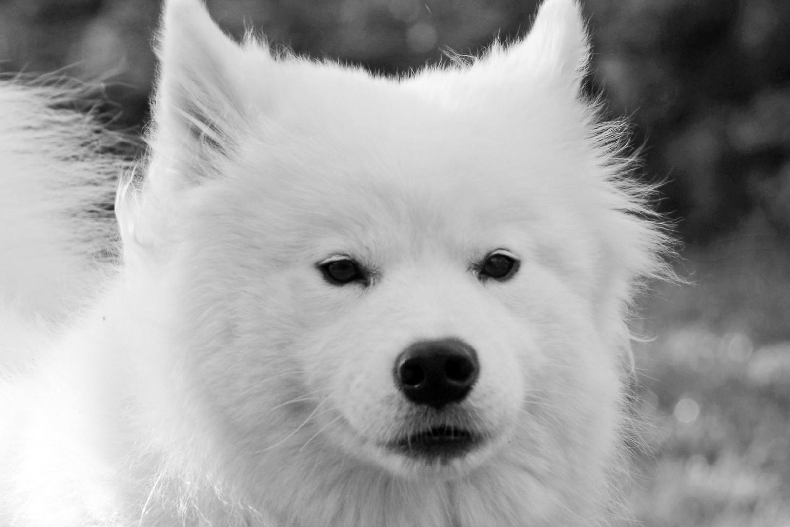 Samojede schwarz/ weiß