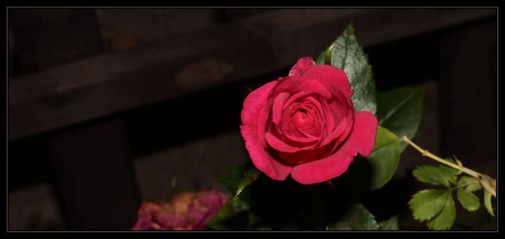 Samt-Rose