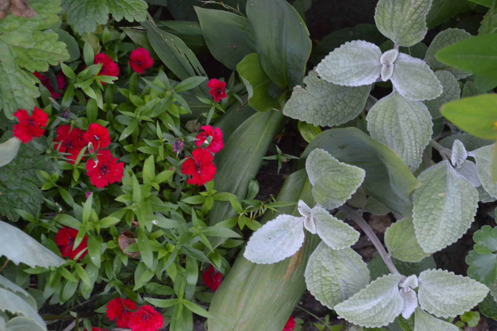 samt und seide foto bild pflanzen pilze flechten bl ten kleinpflanzen gartenpflanzen. Black Bedroom Furniture Sets. Home Design Ideas