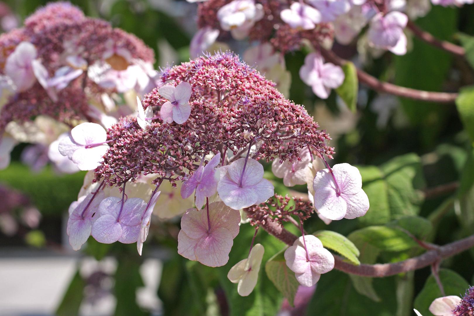 Samthortensie in Blüte
