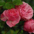 Samtige Rose