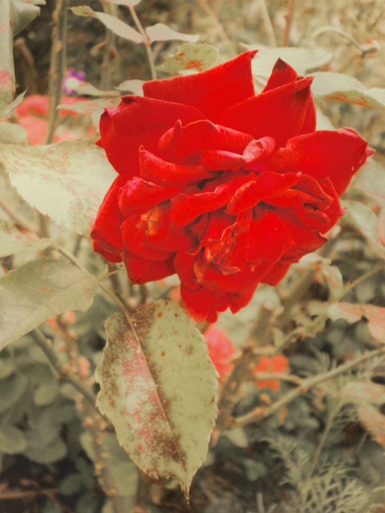Samtweich & dornig - das Symbol der Liebe