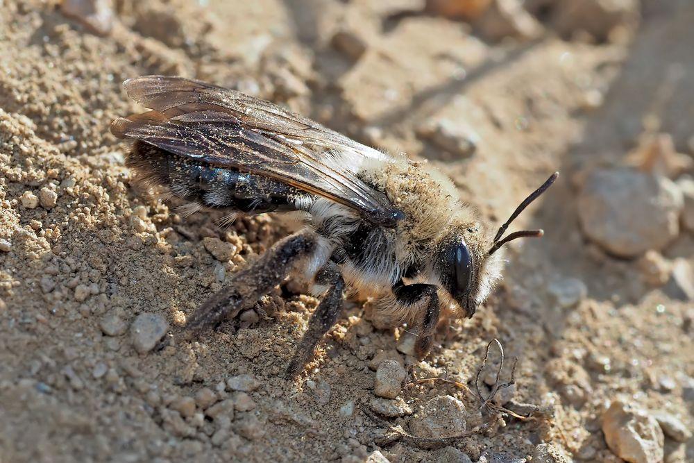 Sand-, Erdbienen-Art der Gattung Andrena (1. Foto) - Les Andrènes: petites abeilles solitaires...