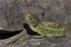 Sand Lizard II