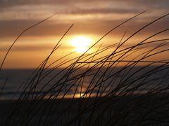 Sand Segge an der Nordseeküste