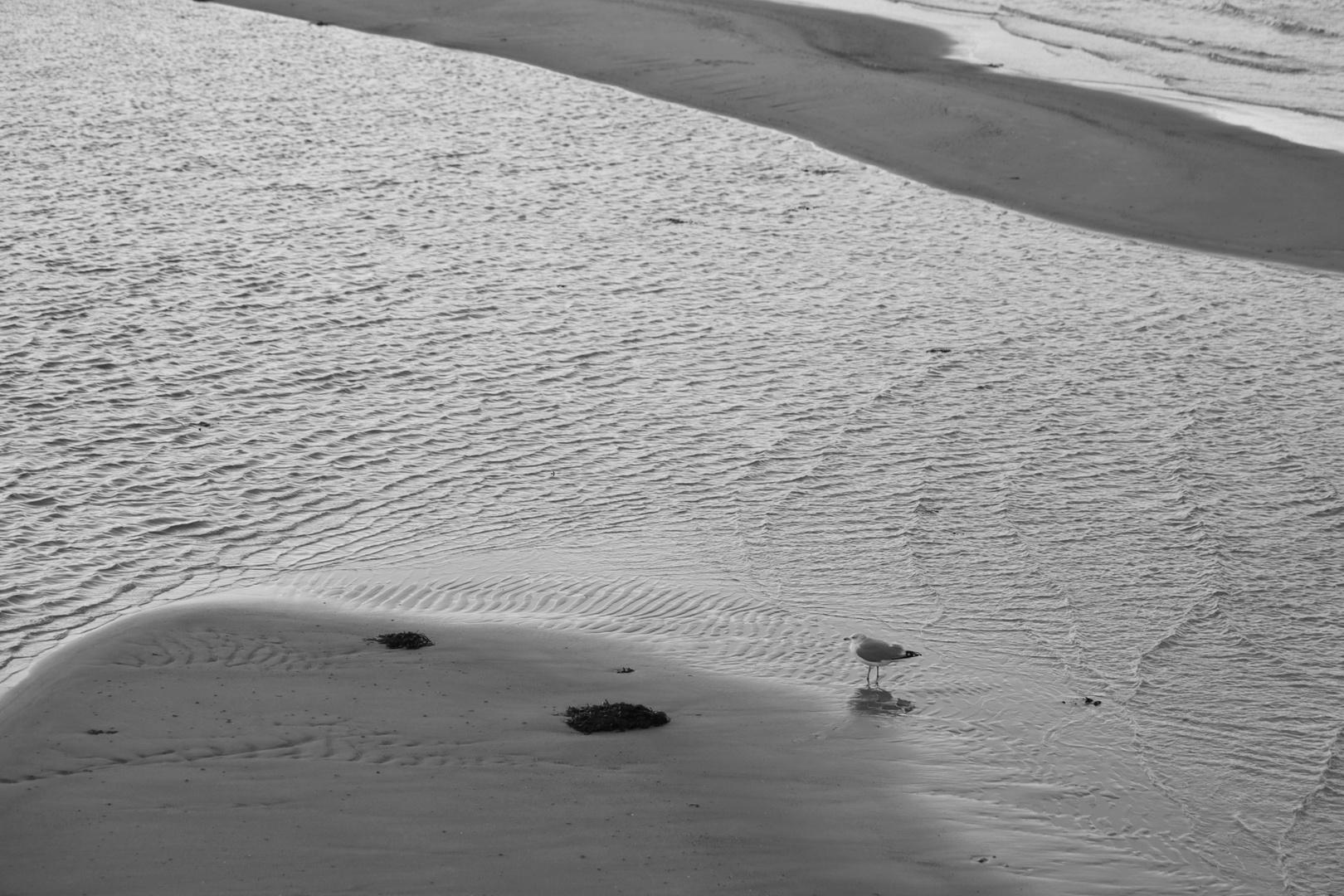 Sandbankmöwe