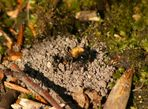 Sandbiene an ihrem Nest