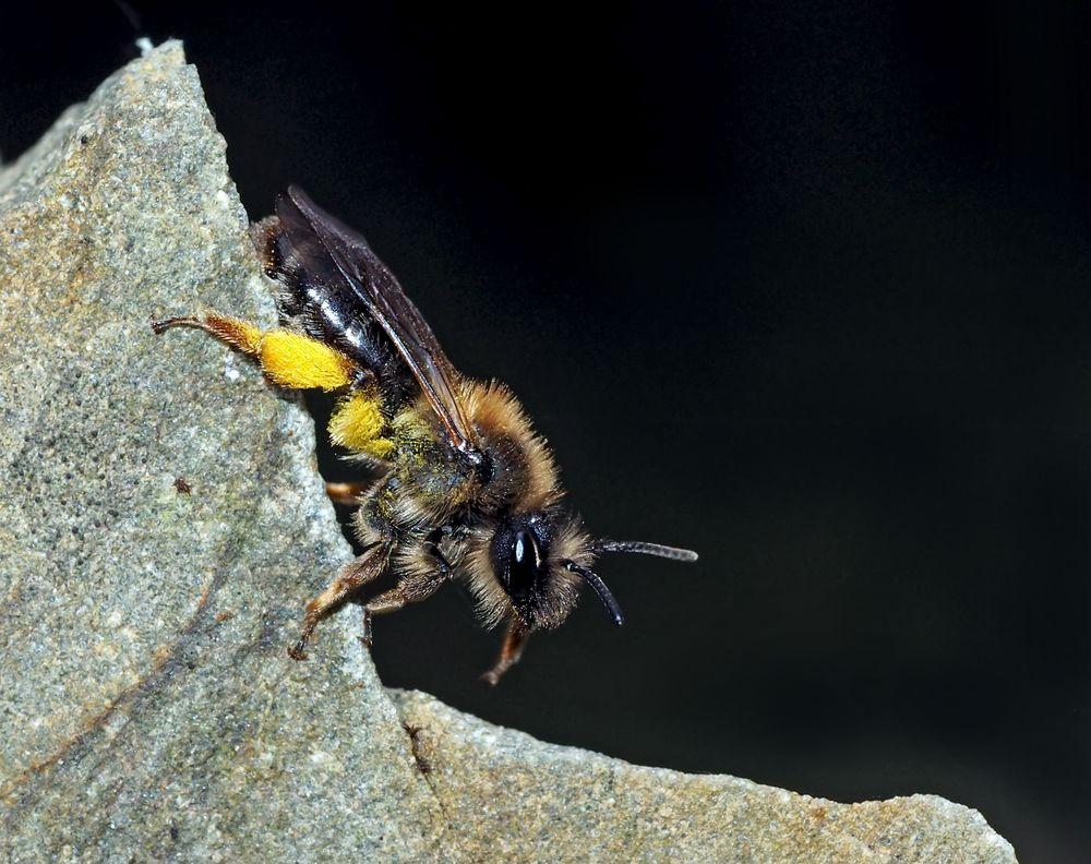 Sandbiene (Andrea clarkella)* im Wald! (2. Foto) - Une abeille sauvage dans la forêt!