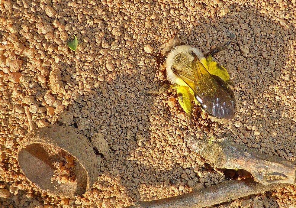 Sandbiene baut sich eine Höhle