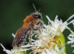 Sandbiene (Gattung Andrena) * - Une abeille sauvage protégée...