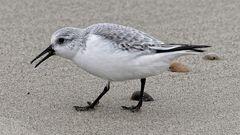 Sanderling sucht an der Nordsee nach Futter bei Domburg (NL, Zeeland).