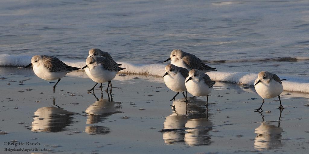Sanderlinge